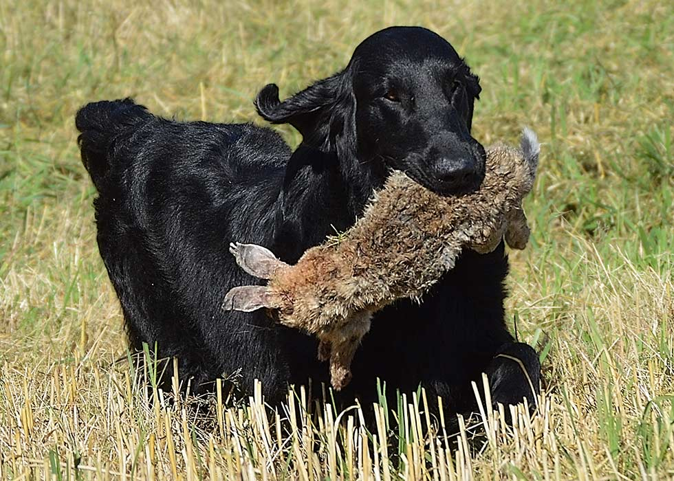 A flatcoated retriever at a hunt