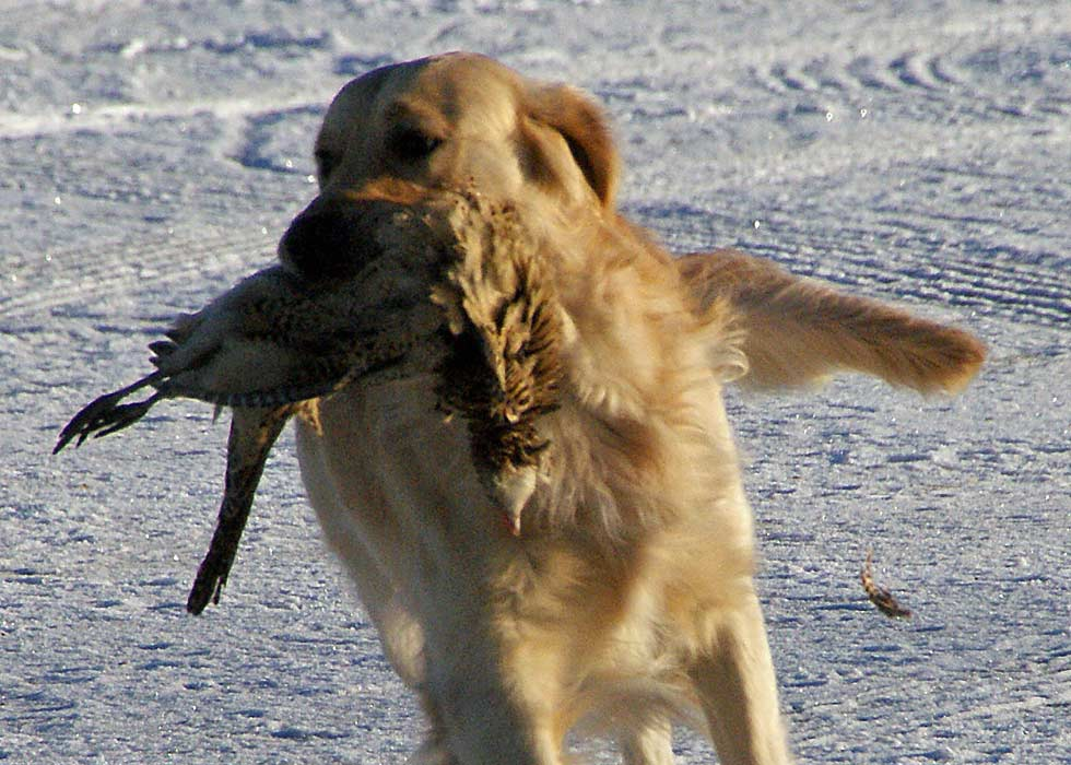 A golden retriever at a hunt