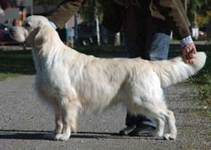 Gutten - en golden retriever
