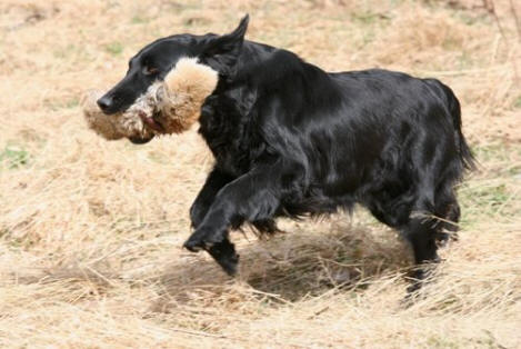 Kirah - en flatcoated retriever