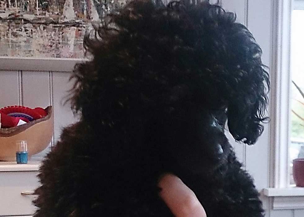 Livlig - a toy poodle