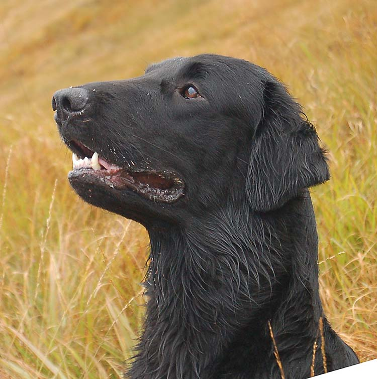Shadow - a flatcoated retriever