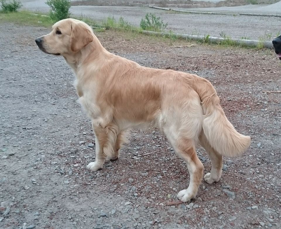 Papa - en golden retriever